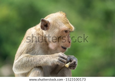 Portrait of a young monkey with greenery leaf background, sitting in outdoor sunlight. Animal selective face focus photo. #1523100173