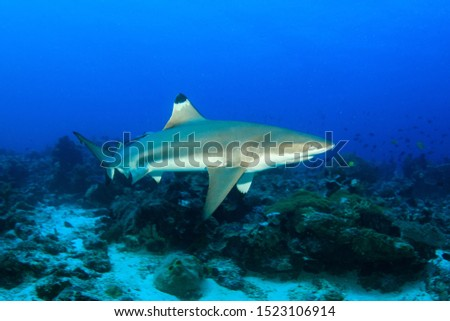 A black tip reef shark (Carcharhinus melanopterus) is passing by on a reef, underwater wide angle image taken scuba diving in Indonesia
