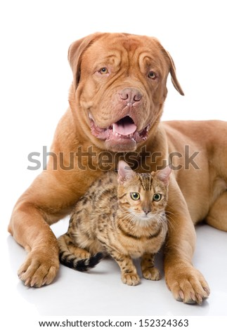Dogue de Bordeaux (French mastiff) and Bengal cat (Prionailurus bengalensis) lying together. isolated on white background #152324363