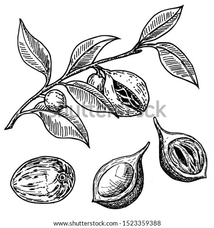 Nutmeg spice vector sketch. Ground seasoning nut. Dried seeds and fresh mace fruits, nutmeg branch. Herbal ingredient, cooking flavor. Condiment. For template label, packing design, illustration Royalty-Free Stock Photo #1523359388