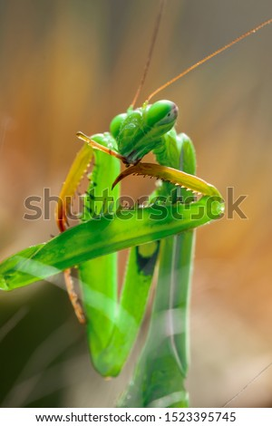Macro of Female European Mantis, Praying Mantis or Mantis Religiosa (Mantidae) on the hunting. Predator cleans its weapon before attacking the prey. Portrait of insect - alien from another world. #1523395745