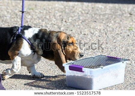 Basset hound looking for a buried scent in a game or scent work #1523517578