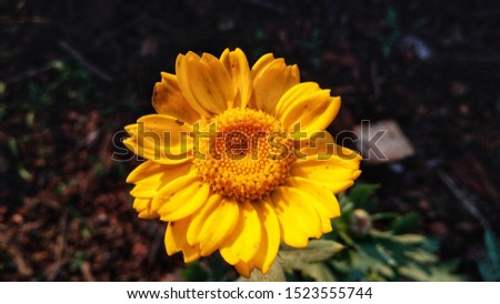 A macro pics of yellow flowers with black background for wallpaper. bright and beautiful yellow flower