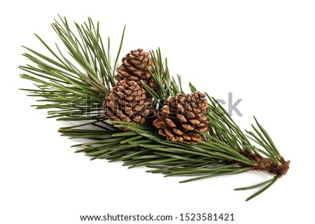 mugo pine branch  with cones isolated on white Royalty-Free Stock Photo #1523581421