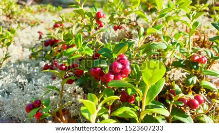 Vaccinium vitis-idaea (lingonberry, partridgeberry or cowberry). Fresh wild lingonberry in forest. Organic lingonberry. Evening sunlight in background. Nature in summer season, Finland #1523607233