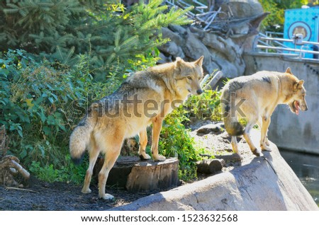 The wolf, also known as the gray wolf or timber wolf #1523632568