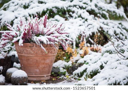 Common heather, Calluna vulgaris, in flower pot covered with snow, evergreen juniper in the background, snowy garden in winter #1523657501