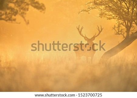 Red deer ( cervus elaphus ) in the foggy morning backlight
