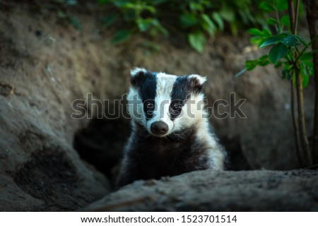 Badger (Scientific name: Meles meles) facing forward, leaving the badger sett at dusk. Badgers are controversial wild animals in the UK due to Bovine Tb in cattle. Landscape, horizontal. Copy space #1523701514
