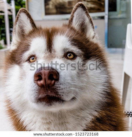 closeup of husky dog with beautiful eyes #1523723168