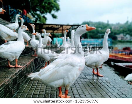 The Chinese goose is a breed of domesticated goose descended from the wild swan goose
