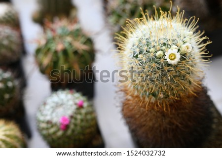 Yellow flowers on a cactus growing in a pot. #1524032732