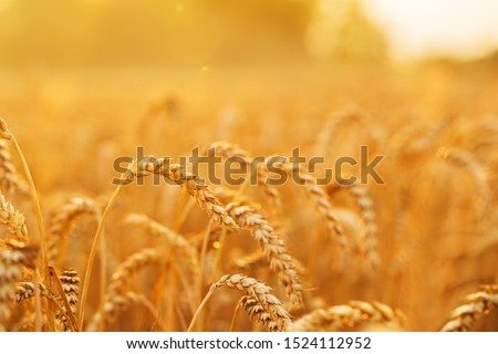 Golden wheat field and sunset #1524112952
