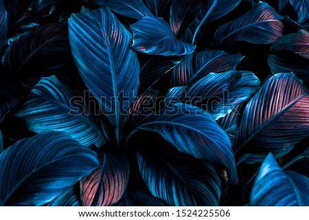 Spathiphyllum cannifolium concept, green abstract texture with white frame, natural background, tropical leaves in Asia and Thailand. #1524225506