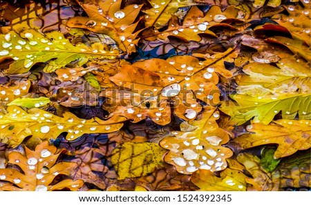 Autumn oak leaves frozen view. Oak leaves in autumn scene. Autumn oak leaves scene. Autumn oak leafs view #1524392345