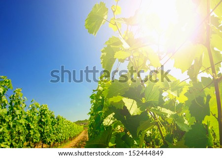 View on grapes plantations under clear blue sky #152444849