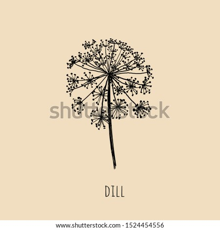 Dill hand drawing. Dill herb vector illustration. Dill sketch Royalty-Free Stock Photo #1524454556