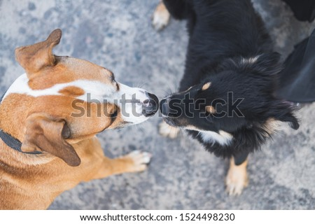 Dogs sniffing each other, acquaintance, socialization and behaviour issues with pets. A grown up staffordshire terrier dog making friends with a puppy at a walk, top view #1524498230