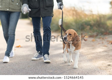 pet, domestic animal and people concept - couple walking with beagle dog on leash in autumn #1524664145