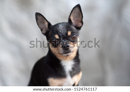 bright color hair chihuahua dog sit relax studio shot on a beige background. Chihuahua on a beige background.Chihuahua black, brown and white.Pet.dog poses, a series of photos with a chihuahua