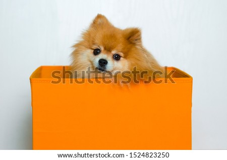 sad adult dog sitting in orange box on white background. thoroughbred purebred Pomeranian spitz. animal shelter. Beautiful well-groomed cute puppy.