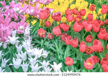 Red tulips, white tulips, yellow tulips and purple tulips bloom together. #1524990476