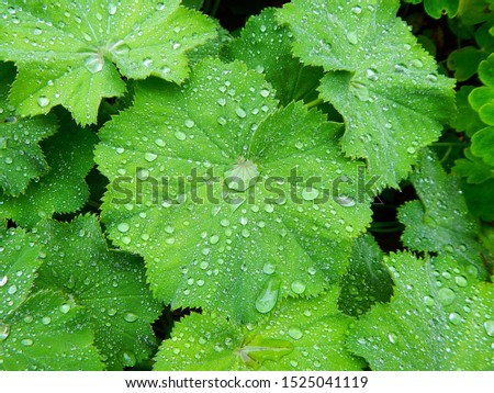Green leaves with lotus effect and raindrops like shiny teardrops, closeup #1525041119