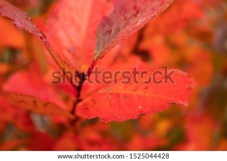 A beautiful red leaves of the aronia bush in autumn. Bright natural pattern in the garden. Latvia, northern Europe. #1525044428