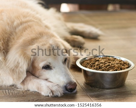 Sad golden retriever dog get bored of food.Golden retriever dog laying down by the bowl of dog food and ignoring it. #1525416356