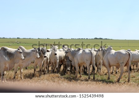 cattle breeding, cattle ranch,  ox and cow #1525439498