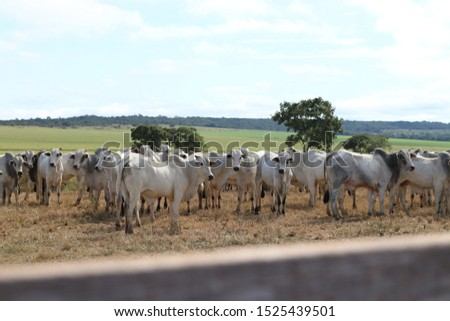 cattle breeding, cattle ranch,  ox and cow #1525439501