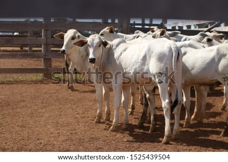 cattle breeding, cattle ranch,  ox and cow #1525439504