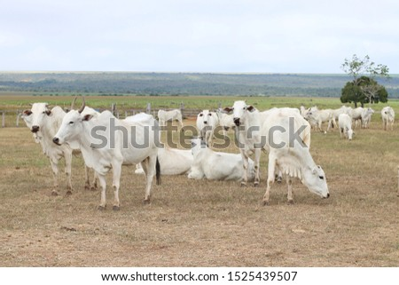 cattle breeding, cattle ranch,  ox and cow #1525439507