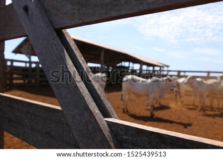 cattle breeding, cattle ranch,  ox and cow #1525439513