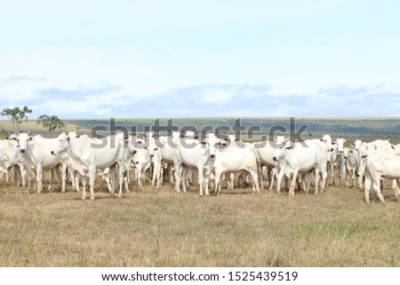 cattle breeding, cattle ranch,  ox and cow #1525439519
