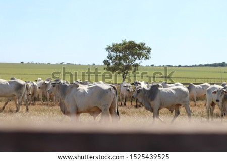 cattle breeding, cattle ranch,  ox and cow #1525439525