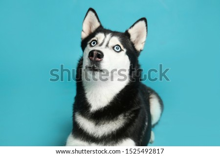 Cute Siberian Husky dog on blue background #1525492817