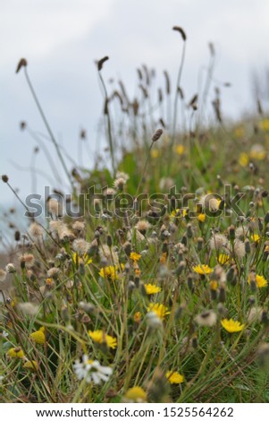 dandelions and rushes at the coast #1525564262