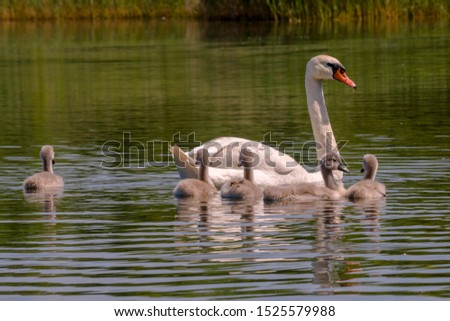 young swan at the gravel pit lake #1525579988