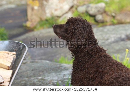 A curly sweet brown Irish Water Spaniel out in nature #1525591754