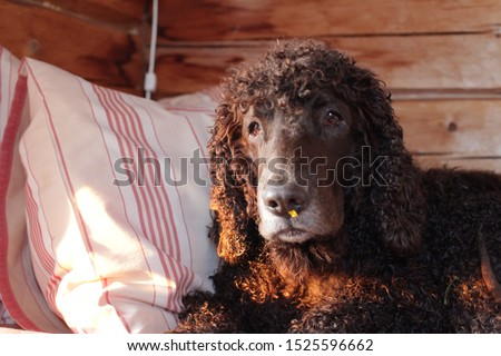 A clownish Irish water spaniel with a yellow leaf on her nose #1525596662