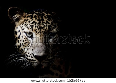 Close up portrait of leopard with intense eyes #152566988