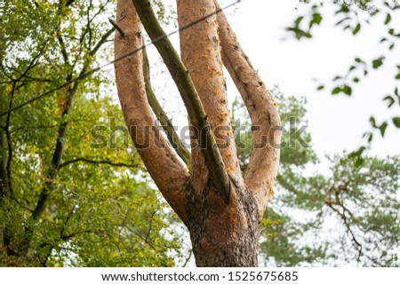On this  tree, the bark changes from brown-gray tones to reddish tones #1525675685