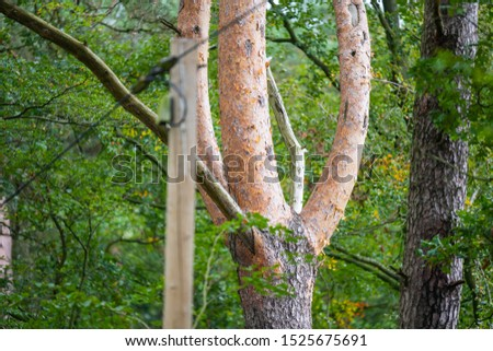 On this  tree, the bark changes from brown-gray tones to reddish tones #1525675691