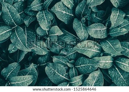 rainy season, water drop on lush green leaf, purity nature background #1525864646
