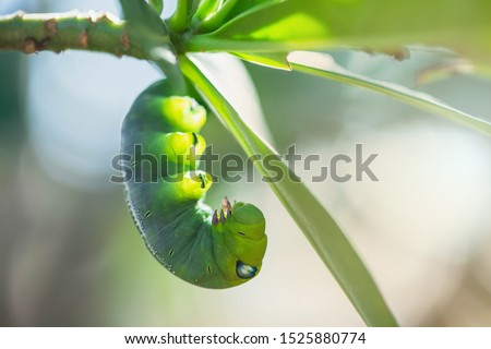 Caterpillars on leaves with blur background. Close up beautiful green caterpillar. Beautiful caterpillar creeps on big green leaf. #1525880774