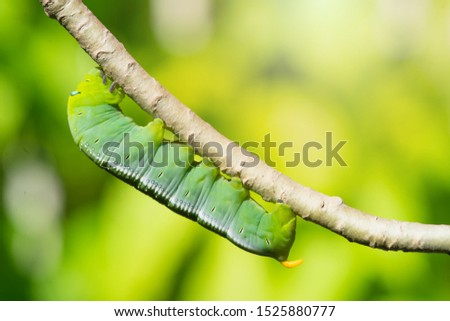 Caterpillars on leaves with blur background. Close up beautiful green caterpillar. Beautiful caterpillar creeps on big green leaf. #1525880777