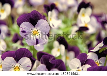 Robust and blooming. Garden pansy with purple and white petals. Hybrid pansy. Viola tricolor pansy in flowerbed. Pansy flowers showing typical facial markings.
