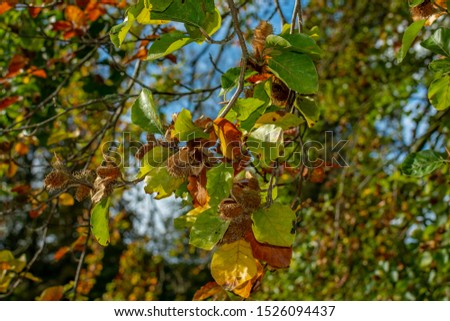 colorful  green orange beech tree branch with beechnuts on natural autumn leaves background #1526094437