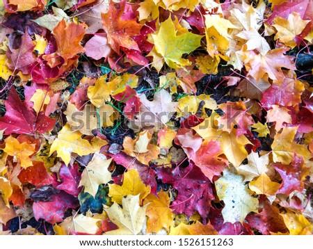 Autumn maple leaves background view. Autumn maple leaves. Autumn maple leafs. Autumn maple leaves ground #1526151263